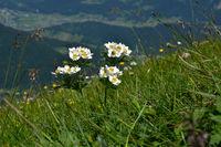 Narzissenblütiges Windröschen; Anemone narcissiflora;
