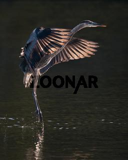 Great Blue Heron in Flight IX