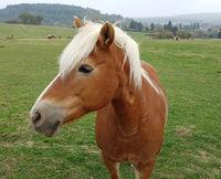 Pferdekopf, Pferd, Equus