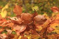 Buchenlaub Herbstfarbe