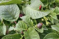 Colorado potato beetle and larva on potato leaves