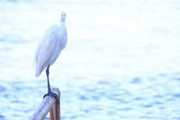 Beatiful portrait close up of Great egret, Egretta Alba, in the Pantanal, Porto Jofre, Mato Grosso Do Sul, Brazil
