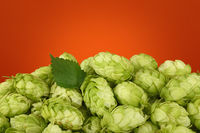 Close up heap of fresh green hops with copy space
