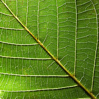 Beautiful natural pattern of green leaf with veins. Creative background for your ideas. Macro photo. Top view