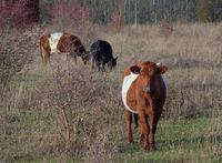 Lakenvelder Rinder und Galloway, in einer natürlichen Umgebung