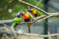 Colourful Lorikeet Rainbow parrots in a zoo