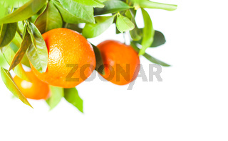 Citrus fruits growing on tree isolated on a white background
