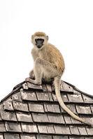 Vervet monkey looks down from tiled rooftop