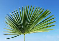 Palmenblatt, Hanfpalme, Trachycarpus, fortunei