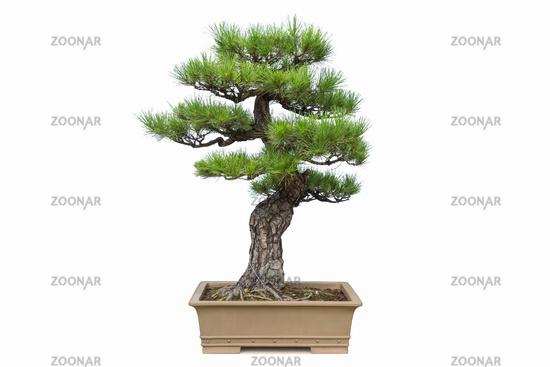 pine bonsai isolated