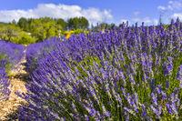 Lavendelbusch mit unterschiedlicher Farbschattierung bei Sault