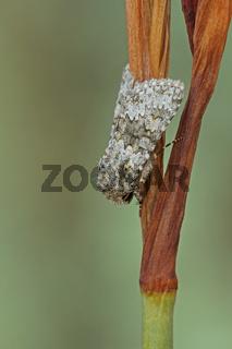Kompasslatich-Eule (Hecatera dysodea)