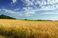Agriculture Wheat crop field summer landscape