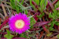 Essbare Mittagsblume (Carpobrotus edulis)