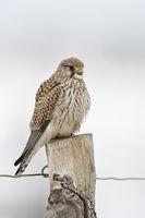 auf dem Zaunpfahl... Turmfalke * Falco tinnunculus *, Turmfalkendame