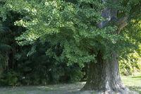 Riesig großer Ginkgobaum (Ginkgo biloba)