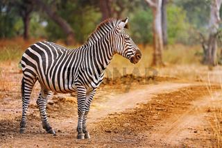 Zebra, Steppenzebra, Liwonde Nationalpark, Malawi, (Equus quagga) | Plains Zebra, Liwonde National Park, Malawi, (Equus quagga)