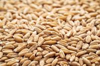 hard red winter wheat grain background