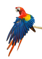 Beautiful Scarlet Macaw bird