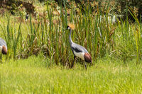 Two Royale cranes in a grass and reed meadow