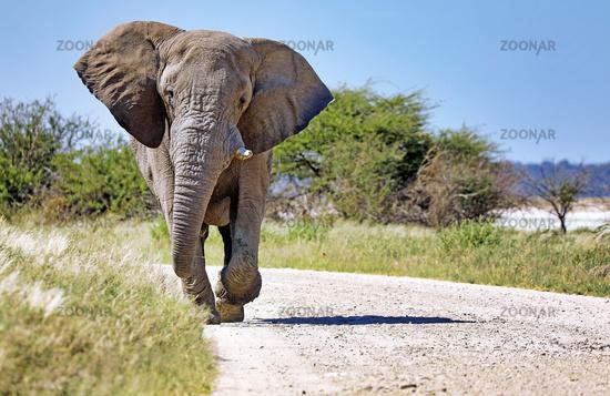 Elefant laeuft auf der Straße, Etosha-Nationalpark, Namibia, (Loxodonta africana)   Elephant running at the street, Etosha National Park, Namibia, (Loxodonta africana)