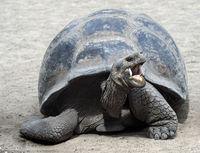Galapagos-Riesenschildkröte (Chelonoidis nigra ssp)