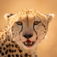 Close-up of cheetah face with bloody lips