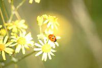 Marienkäfer auf Gelber Kamillenblüte