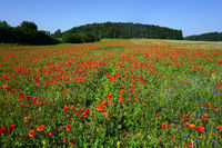 Landschaft mit Klatschmohn auf der Schwäbischen Alb