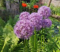 Zierlauch, Riesenlauch, Allium, Giganteum