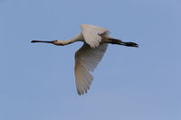 Eurasian or common spoonbill in nature Island Texel, Netherlands