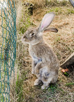 amusing grey rabbit in a shelter