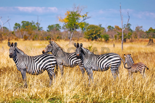 Steppenzebras, South Luangwa Nationalpark, Sambia, (Equus quagga) | Plains Zebras, South Luangwa National Park, Zambia, (Equus quagga)