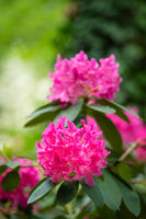 Beautiful blooming pink rhododendron flowers