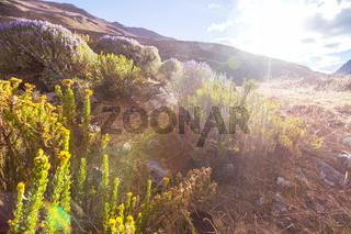 Flowers in Cordillera