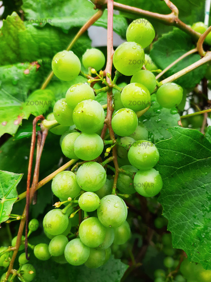 Unripened green grapes