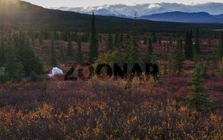 Camping in Denali National park, facing Mt Mckinley