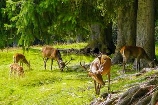 deers of Italian Alps in nature