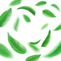 Realistic fresh green leaves on white background, tea and herb