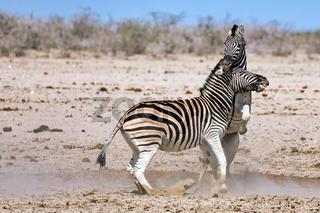 Kämpfende Zebras, Etosha-Nationalpark, Namibia,  | fighting zebras, Etosha National Park, Namibia