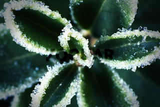 ice spicule on green leaves because of unexpected frost