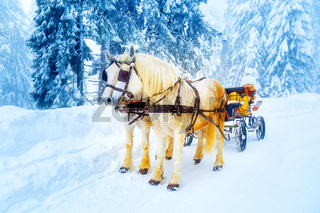 two beautiful white horses in mountain winter landscape.