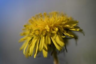 Dandelions on a green meadow