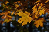 Spitzahorn-Blätter (Acer platanoides) im Herbst und Gegenlicht,
