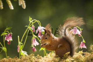 red squirrel is standing between columbine