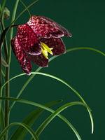 Nahaufnahme der Blüte einer Schachbrettblume vor grünem Hintergrund