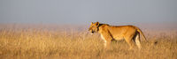 Lioness stands in long grass in profile