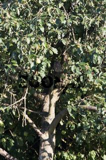 Steinkauz Baum