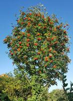 Vogelbeerbaum, Eberesche, Sorbus, aucuparia