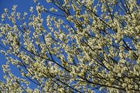Salix caprea, Salweide, Pussy willow
